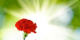 Rote Nelke, dahinter Sonnenstrahlen vor grünem Hintergrund